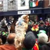 Cute dog is enthralled by the Dublin St Patrick's Day parade