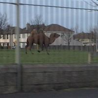 Is there a camel on the loose in Tallaght?