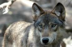 Paris has a wolf problem