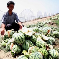 Farmers confused by exploding watermelons in China