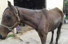 Emaciated ex-racehorse dumped in field left to die finds new home