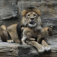 A Danish Zoo has killed four healthy lions