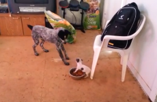 Tiny puppy masterfully puts bigger dog in its place at dinner time