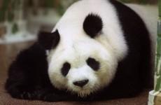 World's oldest panda, Ming Ming, dies at 34