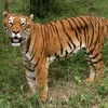 Tigers are being slaughtered to entertain rich businessmen in China