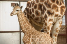 Meet Fota's new baby giraffes... and suggest some names for them