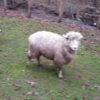 This dog and bouncy sheep have the friendship you wish you had