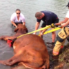 Stuck bull saved by policewoman who held its head above water for three hours