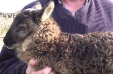 An adorable sheep-goat hybrid has been born in Kildare