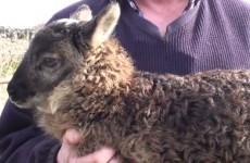 An adorable sheep-goat hybrid has been born in Kildare