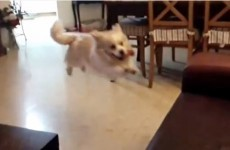 Hopeful dog tries to jump on couch, fails spectacularly