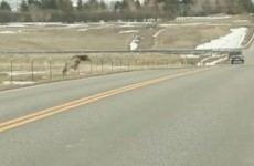 Watch this little elk do furious battle with a tricky fence