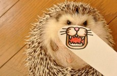 This hedgehog's adorable paper makeovers will make you smile