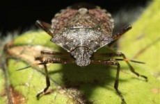 US farmers fear plague of 'stink bugs'