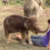 Puzzled baby elephant tries to find human friend's trunk