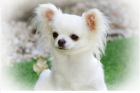 A nationwide hunt is under way for five chihuahuas.
