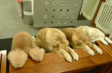 Extremely well-mannered dogs pray together before eating dinner