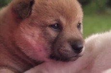 Puppies learn basic life skills for the first time, adorable failing ensues