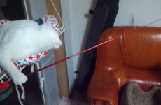 Evil genius cat goes fishing for other cat