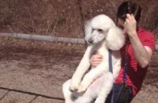 This poodle enjoying a go on a swing is the strangest thing you'll see today