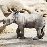Dublin's youngest rhino will meet his dad for the first time on 'The Zoo' tonight
