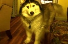 Fluffy husky DEMANDS that you play with him
