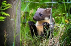 Licence to kill a pine marten granted despite protected status
