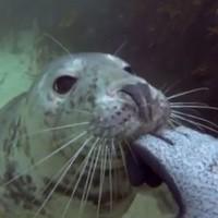 Lucky scuba diver gives friendly seal a belly rub