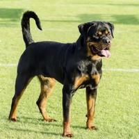 Police called after UK rottweiler registered to vote