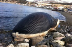 A Canadian fishing community is being terrorised by an exploding whale