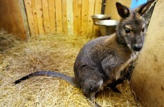 Baby wallaby rescued from Facebook auction