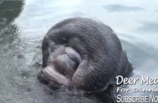 This manatee drinking water will make you feel weird and uncomfortable