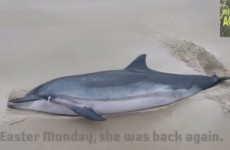 Touching video of dolphin being rescued off Achill Island