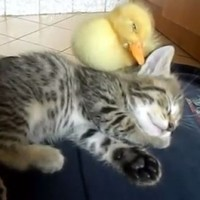 This kitten and duckling taking a nap together are you this morning