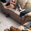 Bulldog realises owner is home, goes crazy with excitement
