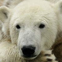 At last: Study explains why polar bears are fat and yet healthy