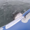 Great white shark takes a bite out of inflatable boat