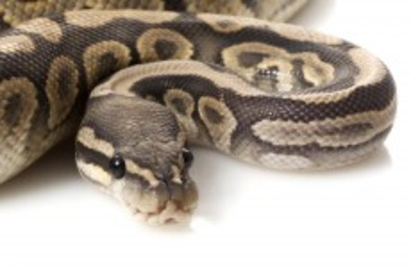 Snake in vagina