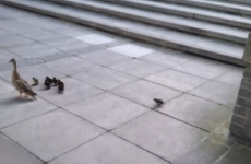 UCD have installed a special ramp for nervous ducklings