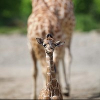 Look at this new baby giraffe born at Dublin Zoo. LOOK AT HIM!
