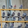University forced to cancel exams after pigeons invade hall