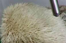 Could this hedgehog have the cutest snore in the world?