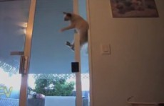 The sliding door is no match for this dexterous cat