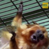 Watch as a male tamarin at Dublin Zoo adopts marmoset babies