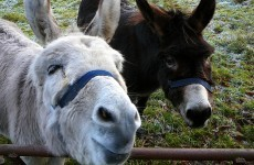 Strike at donkey sanctuary could 'risk' its ability to help animals in future