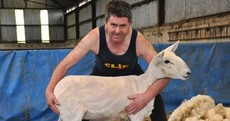 Tens of thousands flock to Gorey for the 'Olympics of Sheep Shearing'