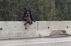 Mammy bear rescues baby bear from dangerous road