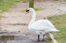 Swan emergency over, Dublin Port Tunnel reopens to traffic
