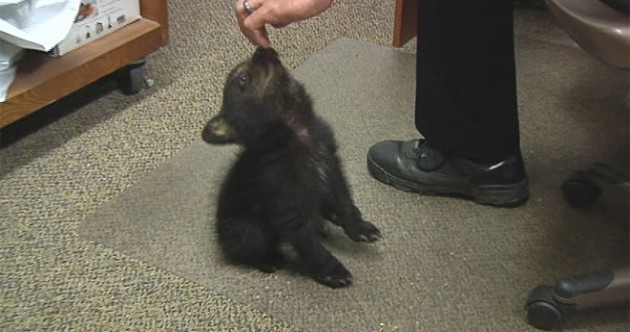 Police care for 'very well behaved' baby bear