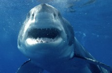 Great white sharks rock out to AC/DC